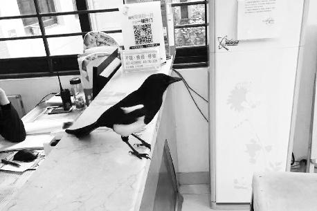 """被人搭救后不肯走 这只喜鹊成了小区里的""""宠鸟"""""""