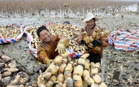 安徽肥西:蓮藕經濟助力鄉村振興