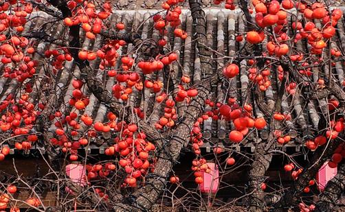 霜柿壓枝低 鳥歡覓冬食