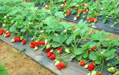 鲜见新品草莓惊艳亮相 海量名特优送到家门口