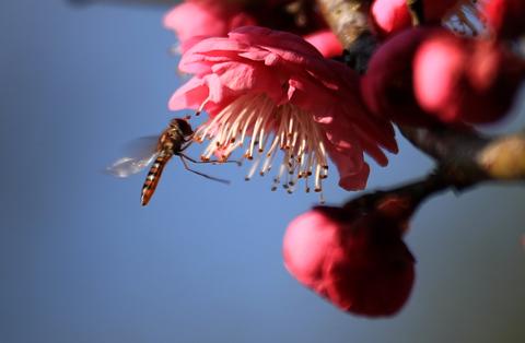 梅開寄暗香 蜂忙知春來