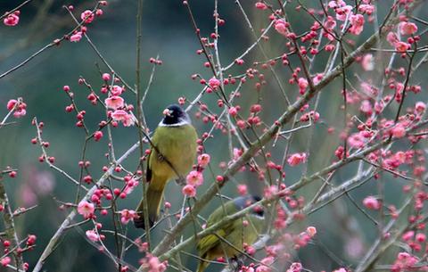 梅開時節鳥鳴春