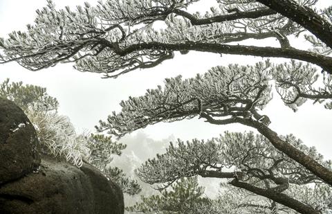 黃山霧凇:玉樹瓊花滿目春