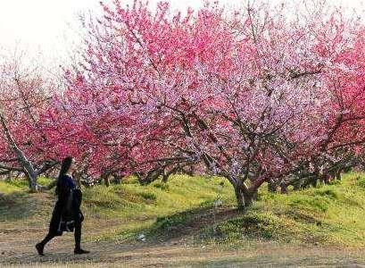 2019中國·合肥桃花節即將啟幕