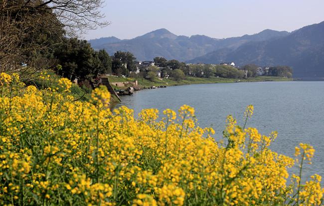 春暖新安江 柳岸菜花黃