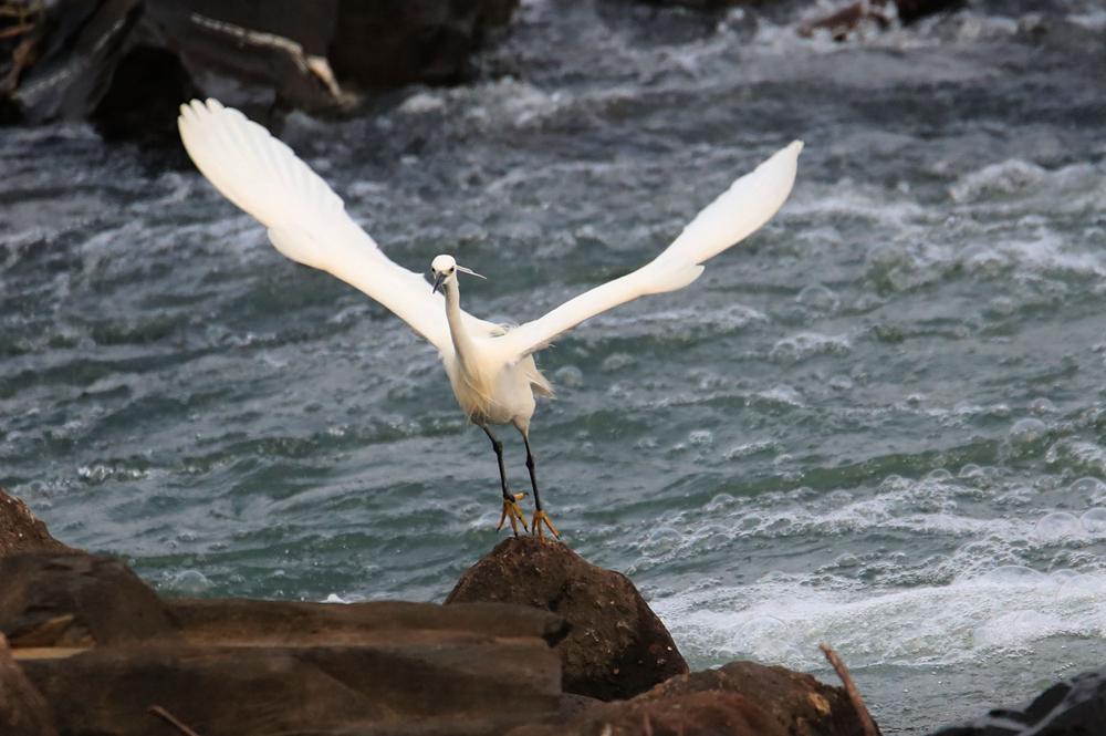 新安江畔白鷺飛 春光春水春色美