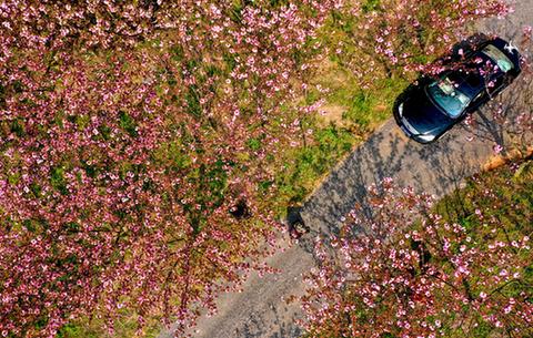 航拍:櫻花朵朵正清明湖光春色賦妖嬈