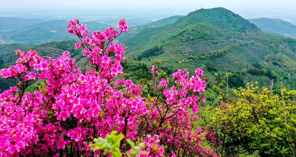 青山滴翠四月天 杜鵑花開映山紅