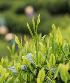 太平猴魁鮮葉