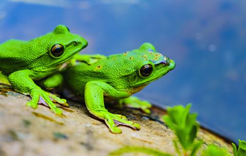 萌翻了!樹蛙也浪漫