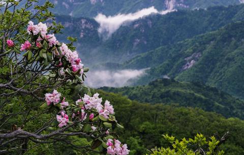 安徽霍山:都枝杜鵑盛開大別山
