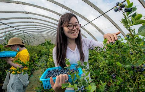藍莓果兒香 遊客採摘忙