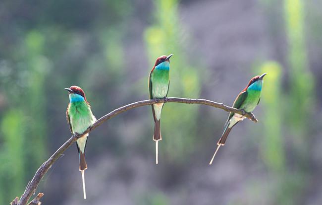 """""""中國最美小鳥""""現身大別山"""
