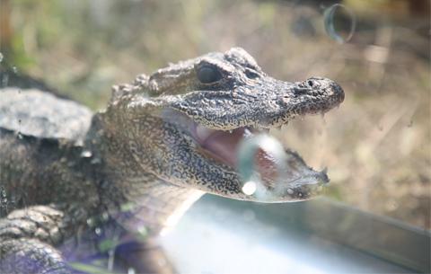 微視頻:揚子鱷回家記
