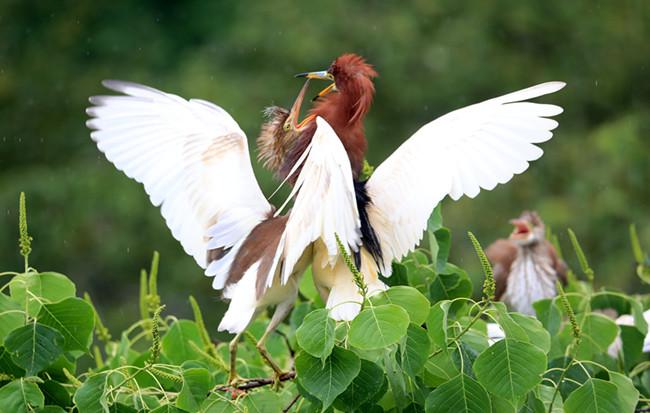 溫情一刻!攝影師拍下池鷺喂食雛鳥畫面