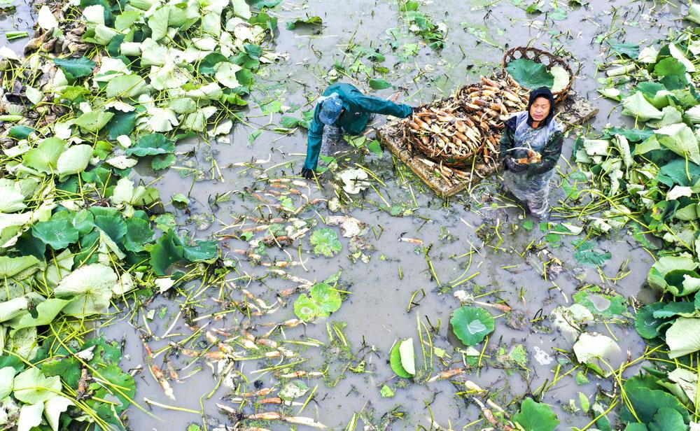 花香藕 搶鮮採