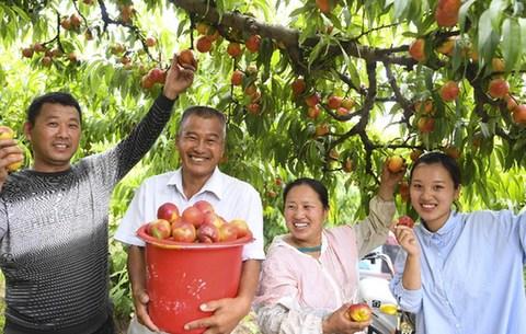 安徽亳州:萬畝桃園喜獲豐收