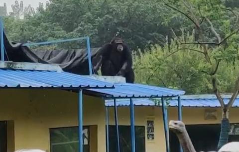 現場視頻!合肥動物園一黑猩猩逃脫,合肥特警出動制服