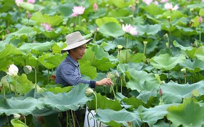 安徽肥西:太空蓮種植助力鄉村振興