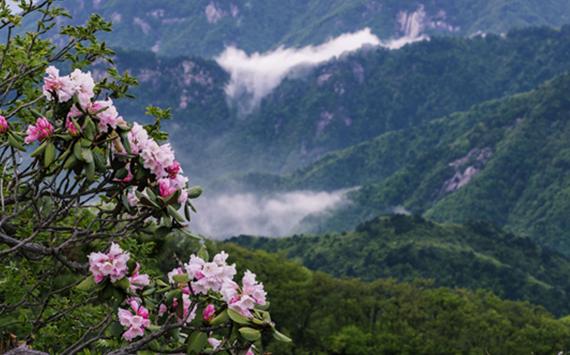 安徽霍山︰都枝杜鵑盛開(kai)大別山