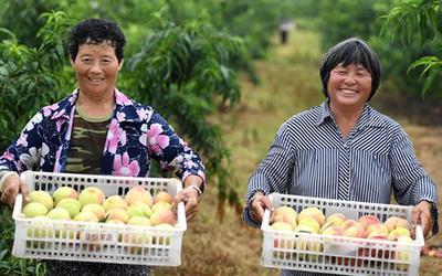 安徽:水蜜桃種植助力鄉村振興