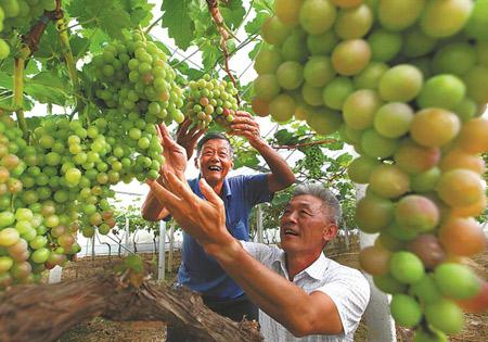 葡萄喜豐收
