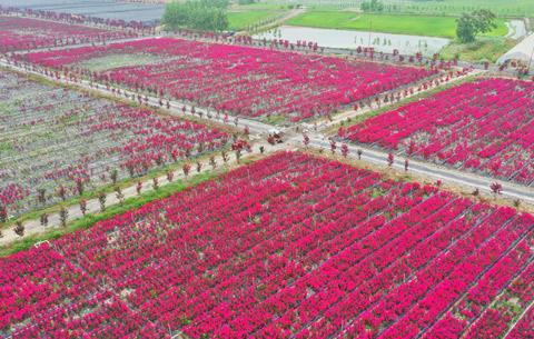 航拍:千畝紫薇映嬌紅