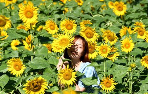 葵花朵朵 笑靨如花