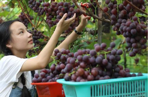 小崗村舉辦葡萄文旅節