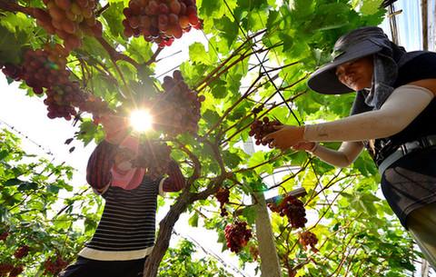 阜南:葡萄豐收 助力脫貧攻堅