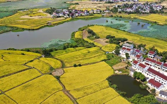 航拍(pai)︰稻田流金豐收美