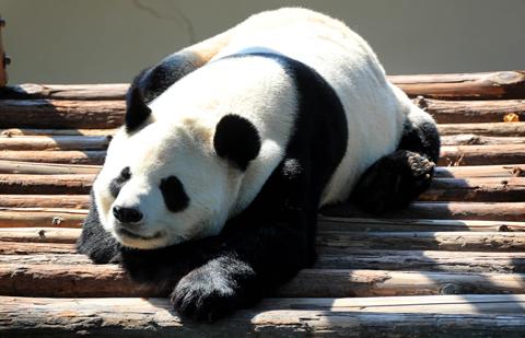 大熊貓樂享秋日陽光