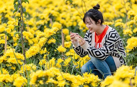 菊花遍地黃,她在叢中笑