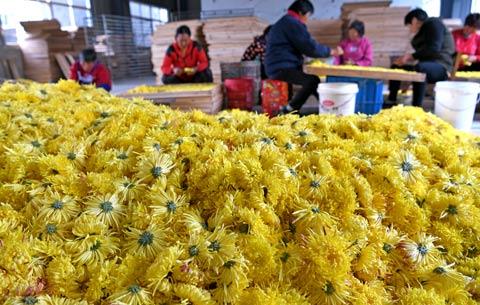 安徽淮南:菊花香飄致富路