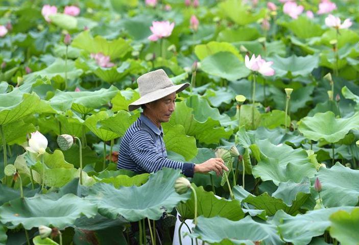 安徽肥西︰太空蓮種植助力鄉村(cun)振興(xing)