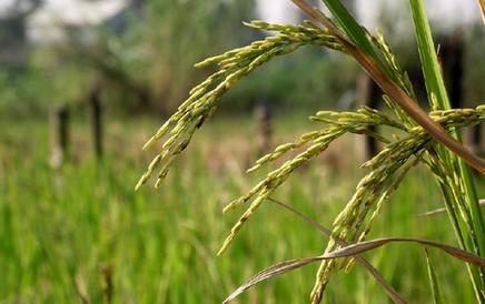 畝産1053.7公斤!安徽省水稻單産新紀錄誕生