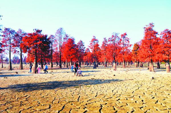 冬季枯水期 水面森(sen)林紅勝火