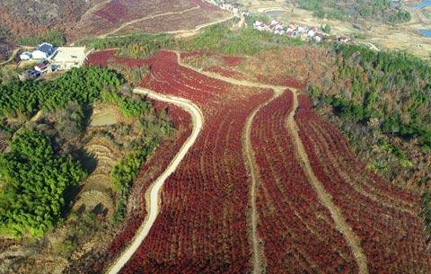 航拍:藍莓紅葉染山坡