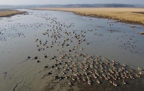 安徽升金湖迎來候鳥遷徙高峰