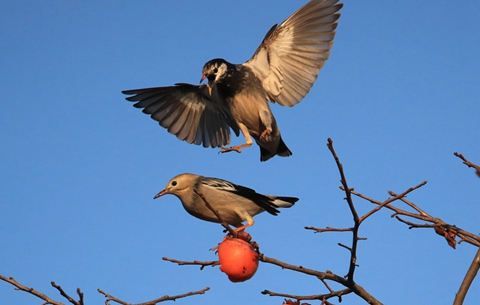 黃山:山鳥相呼柿柿紅
