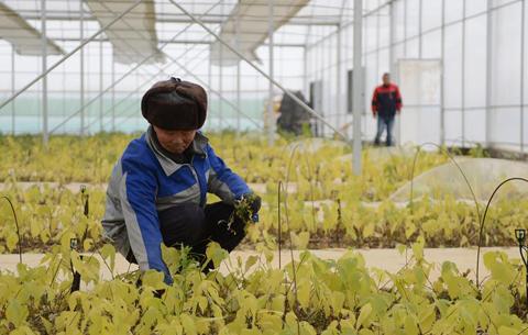 安徽霍邱:發展構樹産業 帶動農民增收