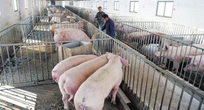 這些養豬大戶的信心何在?——雙重疫情下的安徽生豬大縣穩産擴産記