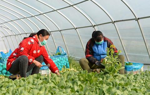 安徽肥東:採摘蔬菜保供應