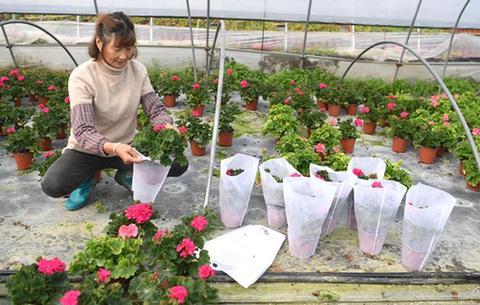 安徽:花農復工忙