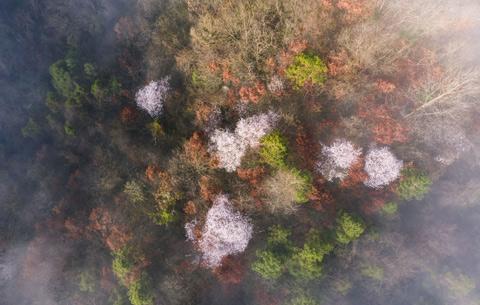 航拍:野櫻盛開大別山