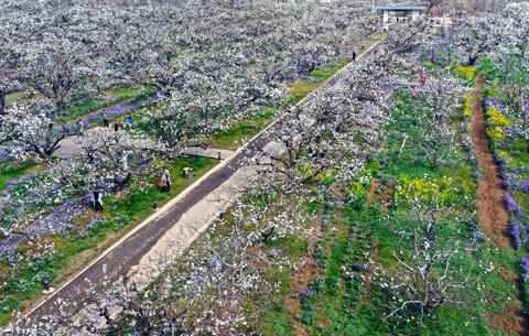 微視頻(pin)︰春從碭山來 雲游梨花海