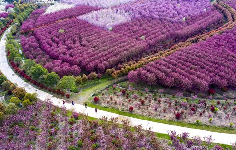 航拍:海棠花開春風暖