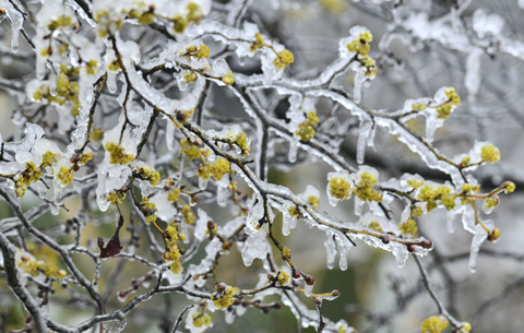 陽春三月桃花雪 醉看冰花落春英