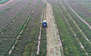 冬種紫雲英 春耕稻田肥