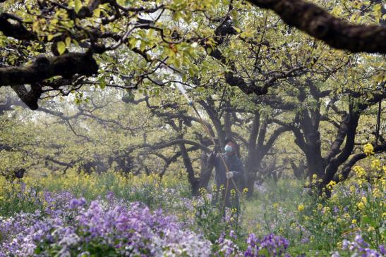 碭山:加大古梨樹名木保護力度